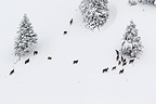 Chamois moving through deep snow Jura Vaud Switzerland (Chamois)