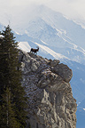 Ibex male on a rocky outcrop Swiss Alps (Ibex)