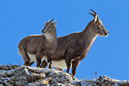 Ibex female and young on rock Valais Alps Switzerland (Ibex)