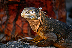 Portrait of Land Iguana on Rock North Plaza Galapagos