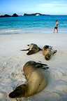 Galapagos sea lions on a sandy beach Espa�ola (California sea lions)