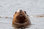 Portrait of a Steller Sea Lion in ocean Yasha island Alaska (Steller sea lion)