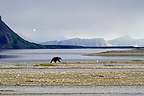 Grizzly Silhouette along the McNeil River in Alaska (Grizzly bear)