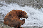 Grizzly along the McNeil River in Alaska (Grizzly bear)