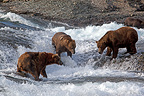 Three Grizzly Bears fishing in McNeil River in Alaska (Grizzly bear)