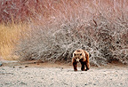 Gobi bear in the Gobi NP in Mongolia (Gobi Bear)