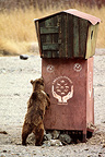 Bear in the Gobi Desert instead of feeding in Mongolia (Gobi Bear)