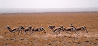 Herd of Goitered Gazelle running in Gobi Desert Mongolia (Persian goitered gazelle)