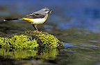 Grey Wagtail with insects on the stream France (Grey Wagtail )