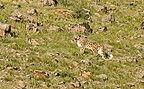 Female Snow Leopard in the Alta� mountains in Mongolia (Snow leopard)