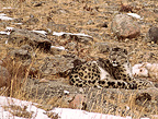 Male Snow Leopard near a carcass of goat Mongolia (Snow leopard)