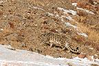 Male Snow Leopard in Alta� mountains in Mongolia (Snow leopard)