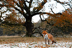 Red fox standing in a snowy meadow GB (Red fox)