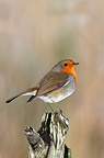 Eoropean Robin perched on a dead tree trunk in winter GB (European Robin)