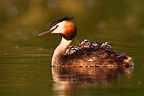 Great Crested Grebe carrying its young on its back (Great Crested Grebe)