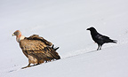 Griffon Vulture and Common Raven in the snow, Ariege, France