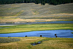 American bisons in water Yellowstone NP USA� (American Bison)