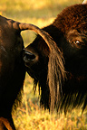 American bison feeling a female Yellowstone NP USA� (American Bison)