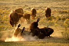 American Bison rolling in dust Yellowstone NP USA� (American Bison)