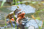 European Frogs mating in lake Jura France�