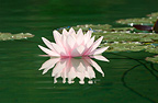 Water lily flower and Agrion Jura France