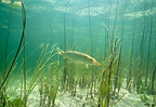 Pike hunting in the vegetation of a lake Jura France (Northern pike)