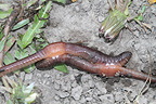 Earthworm mating in Yellowstone NP USA