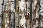 Male Great spotted woodpecker looking for food on a birch (Great spotted woodpecker)