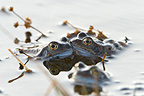 Frog couple in a lake Jura France