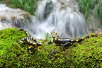Spotted salamanders on moss and cacscade Jura France
