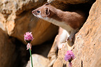 Stoat in summer coat smelling a Wild Garlic flower France (Ermine)