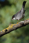 Sardinian Warbler on a branch of Ash tree France (Sardinian Warbler)