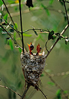 Madagascar Paradise-flycatcher nestlings waiting in nest (Madagascar paradise-flycatchers)