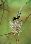 Madagascar Paradise-flycatcher male sitting on its eggs (Madagascar paradise-flycatchers)