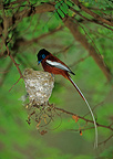 Madagascar Paradise-flycatcher male inspecting the nest (Madagascar paradise-flycatchers)