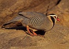 Arabian Partridge walking on rocks Saudi Arabia (Arabian Partridge)
