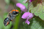 Leafcutting bee flying in the Vosges du Nord NRP France