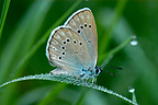 Scarce Large Blue in the Vosges du Nord NRP France