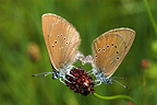 Dusky Large Blue butterflies mating, Vosges du Nord NP, France