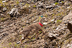 Reintroduction of Alpine ibex in Chartreuse France (Ibex)