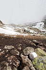 Net and bait on salt uptake site Alpine Ibex Alps France (Ibex)