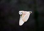Barn Owl hunting over meadow Norfolk UK (Barn owl)