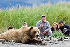 Bear Guide with tourists watching Grizzly Bear at Hallo Bay (Grizzly bear)