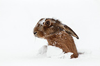 Brown hare laying under the snow in winter GB (European Hare )