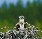 Osprey female with chick in nest Finland (Osprey)