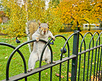 Grey Squirrel in St James Park London UK (Gray squirrel)