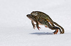 Marsh Frog mating clench and leaping on snow to reach pound
