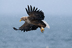 White-tailed Eagle in flight Norway (White-tailed Eagle)