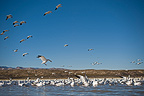 Snow Geese Bosque del Apache New Mexico USA (Snow Goose)