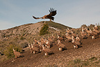 Griffon Vultures on the ground, Catalonian Pyrenees, Spain